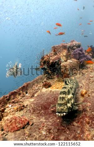 Potato grouper on Thistlegorm Wreck. - stock photo