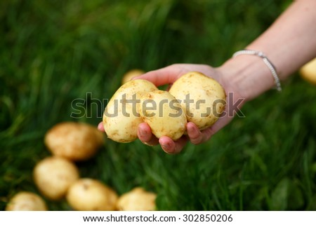 Potato harvesting. Female hands holds washed potatoes against grass. Locavore, clean eating,organic agriculture, local farming,growing concept. Selective focus - stock photo