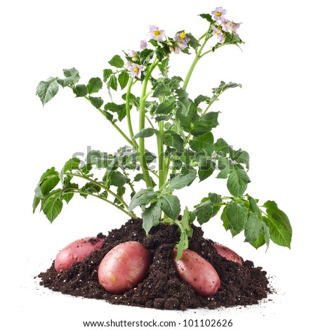 potato plant with tubers in soil dirt isolated on white - stock photo
