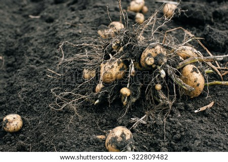 potato plant with tubers in soil dirt surface, fresh and raw potato on a field - stock photo