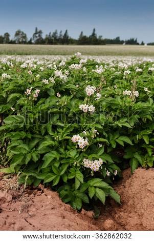 Potato plants in flower on a farm in rural Prince Edward Island, Canada. - stock photo