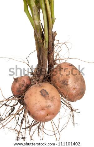 Potato root - stock photo