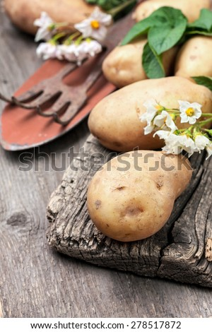 potato with leaves and flowers on a wooden background in rustic style. harvest potatoes
