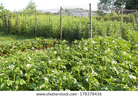 Potatoes, beets and legumes in the organic vegetable garden. - stock photo