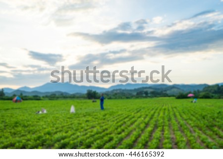 Potatoes farm field in rows with mountain background, blurred
