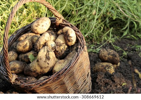 potatoes farming Solanum tuberosum - stock photo