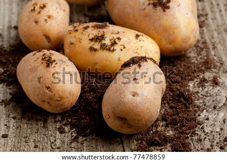 Potatoes in soil on old wooden table - stock photo