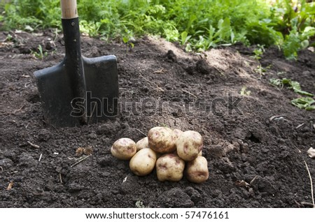 potatoes in the garden - stock photo