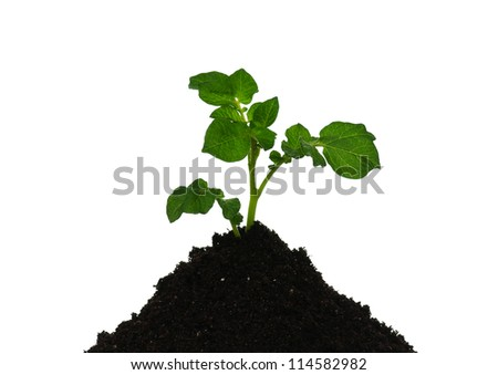 Potatoes sprout on heap of the soil isolated over white - stock photo