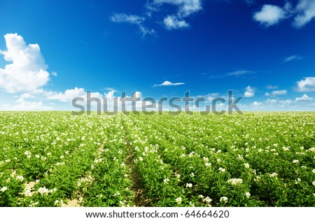 potatos field and sunny summer day - stock photo