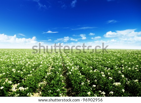 potatos field and sunny summer day - stock photo