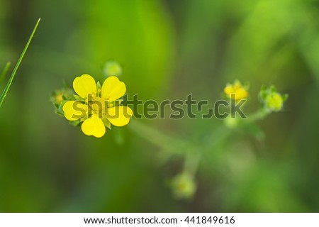 Potentilla is a genus containing species of annual, biennial and perennial herbaceous flowering plants in the rose family, Rosaceae. - stock photo
