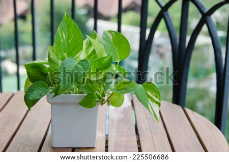 Pothos (Scindapsus aureus Eagler) in vase - stock photo