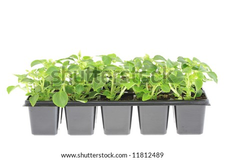 Pots of impatiens on a white background.