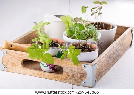 Pots with seedlings of basil, mint and rosemary on wooden tray.  - stock photo