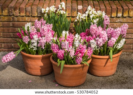 Potted, Blooming Hyacinth in Garden