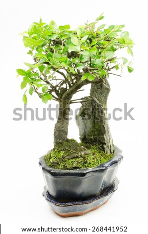potted bonsai (chinese elm) - stock photo