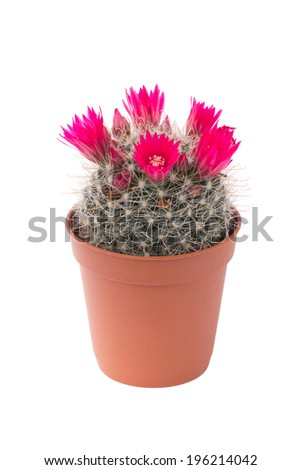 Potted cactus isolated on white. - stock photo