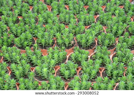 Potted Cactus Plants - stock photo