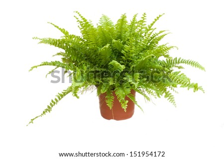 potted fern - stock photo