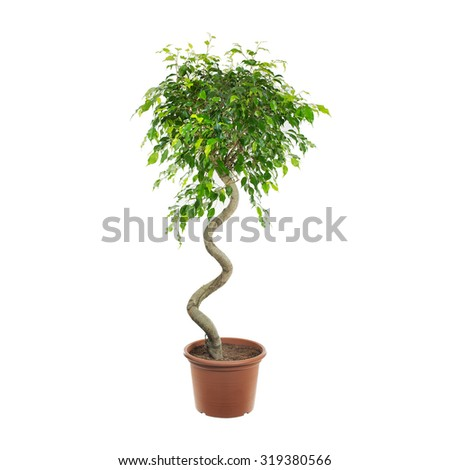 Potted ficus shot over a white background - stock photo