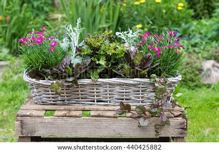 Potted garden plants like carnation and painted nettle in a basket for outside decoration.
