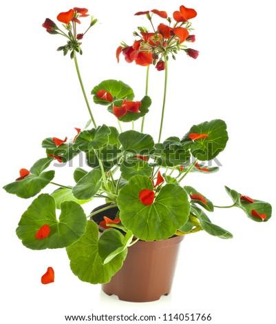Potted plant of red Geranium Pelargonium isolated on white - stock photo