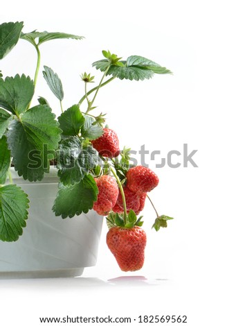 Potted strawberries - stock photo