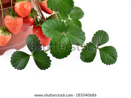 Potted strawberries isolated on white - stock photo