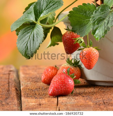Potted strawberry - stock photo