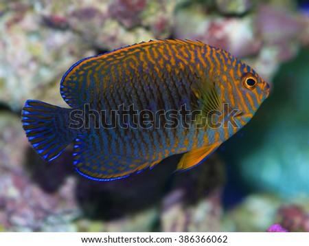 Potter's Angelfish, Centropyge Potteri  - stock photo