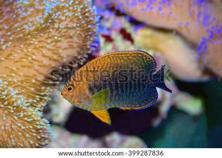Potter's Angelfish, Centropyge Potteri, a pygmy angelfish  - stock photo