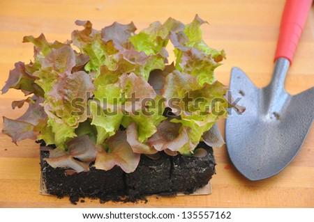 Potting organic salad greens - stock photo