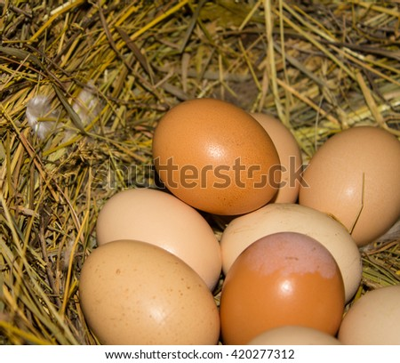 poultry eggs in the nest.