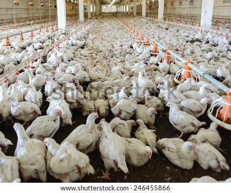 Poultry farm (aviary) full of white chickens - stock photo