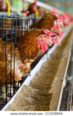 Poultry farm full of brown chickens - stock photo