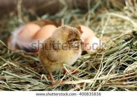 Poultry. Image of small chicken on hay, close-up