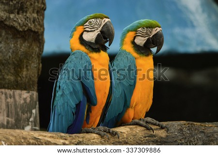 Poultry is a family Psittacidae Macaw is a large bird family hookworm. Popular culture because the colors are beautiful, tame and could imitate people.