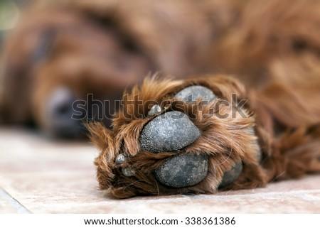 Pow of a lazy dog - stock photo