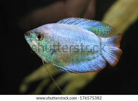 Powder Blue Dwarf Gourami in an Aquarium - stock photo