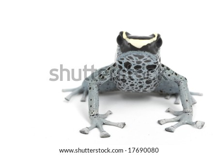 Powder Blue Dyeing Poison Dart Frog (Dendrobates tinctorius) on white background. - stock photo