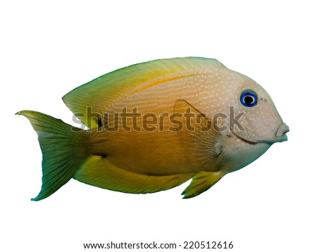 Powder Blue Surgeon fish isolated on Black - stock photo