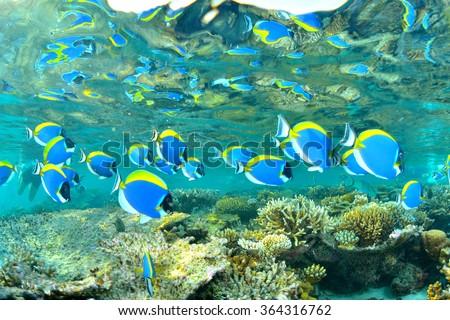 Powder blue surgeonfish - stock photo