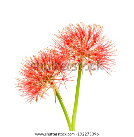 Blood-flower Stock Photos, Illustrations, and Vector Art