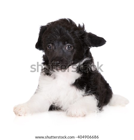 powderpuff chinese crested puppy on white