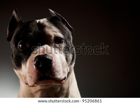 power inspiring pit bull in studio on a black background - stock photo