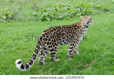Powerful big furry cat looks alert - stock photo