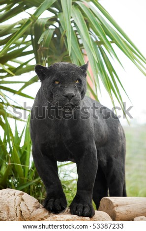 Powerful Black Panther - stock photo