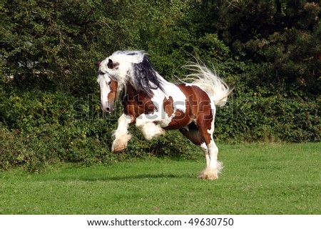 powerful bocking Irish Cob stallion, running in the pasture - stock photo
