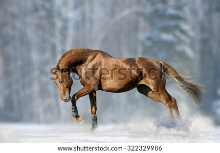 Powerful chestnut stallion in snow in sunny winter day - stock photo